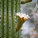 organ-pipe-cactus-in-flower