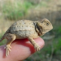 juvenile-rock-horned-lizard