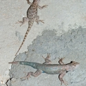 clark's-spiny-lizards-male-female