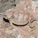 juvenile-regal-horned-lizard