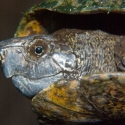 sonoran-mud-turtle