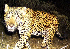 What Do Jaguars Eat >> Northern Jaguar Project A Binational Effort To Save The